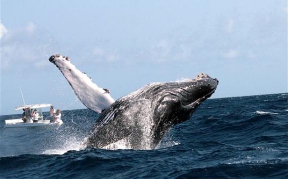 Saut de baleine